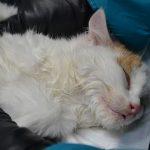 Заставка для - Четыре котенка на грани жизни и смерти, кальцивироз, сбор на лечение