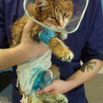 Заставка для - Кошка Матильда, травма и ампутация лапы, сбор средств на операцию