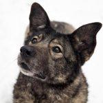 Заставка для - Собака Соня, новообразование селезенки, сбор на лечение