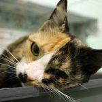 Заставка для - Кошка Ляля, сбор на лечение