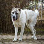 Заставка для - Собака Семен, сбор на операцию