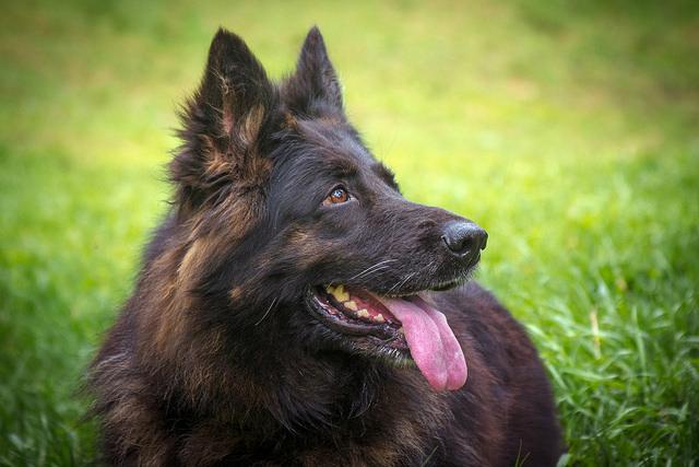 Заставка для - Собака Шерри, онкология, сбор на операцию